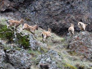 Vadilere inen dağ keçileri avcıların hedefinde