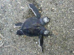 İki başlı deniz kaplumbağası yavrusu bulundu