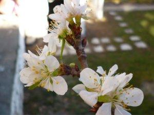 Mevsimi şaşıran erik ağacı çiçek açtı