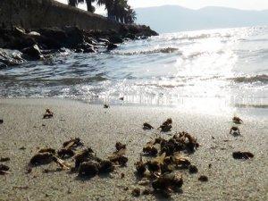 Binlerce arı sahile vurdu