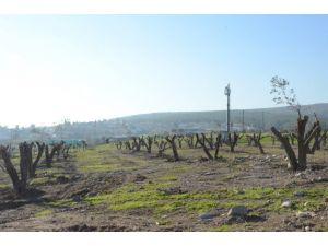 ESBAŞ, gelişme alanındaki zeytin ağaçlarını taşıyor
