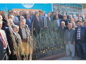 Çiftçilere Zeytin Ve Ceviz Fidesi Dağıtıldı