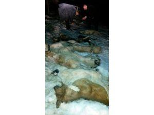 Kastamonu'da 9 Köpek, Zehirlenerek Çöplüğe Atılmış Şekilde Bulundu