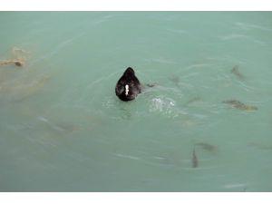 Göl Sularındaki Balık Ve Ördeklerin Ekmek Mücadelesi