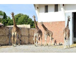 Zürafa Zarife'nin, Yalnızlığı Bitti