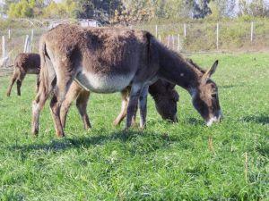 Adana'da 'Eşek Çiftliği' Kuruldu