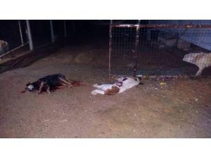 Barınağa silahlı saldırıyı 'köpek dövüşçüleri' yaptığı iddiası