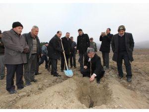 Ezinepazar'da Ceviz Fidanları Toprakla Buluştu