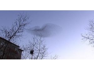 İstanbul Semalarında Sığırcık Kuşlarından Büyüleyen Görsel Şov