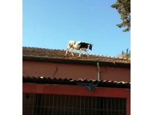Kesime Getirildiği Sırada Kaçan İnek, Mezbahanın Çatısına Çıktı