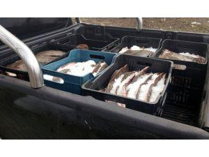 Edirne'de 685 kilogram kaçak kalkan balığı ele geçirildi