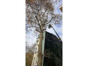 İzmit'te Ağaçlar Budanıyor
