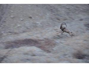 Yaralı Dağ Keçisi Tüm Çabalara Rağmen Kurtarılamadı