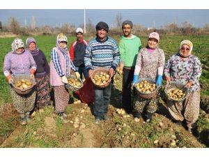 Şeker Oranı Düşük Patates Üretiliyor
