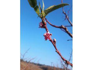 Kar Beklenirken Şeftaliler Çiçek Açtı