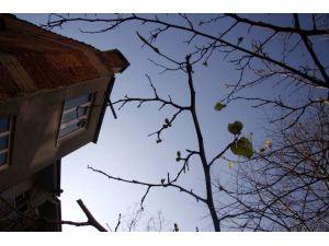 76 Yıılık Dut Ağacı Kış Mevsiminde Meyve Verdi