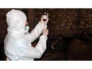 Şap Hastalığı İle Mücadele Çalışmaları
