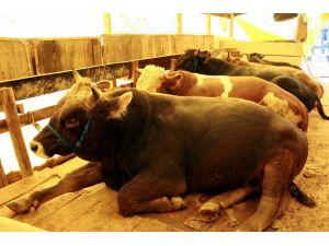 Hayvanların küpelenmesi ve kaydı üretici birliklerine devredildi