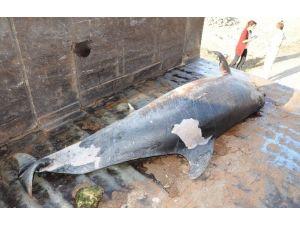 Erdemli'de Ölü Yunus Sahile Vurdu