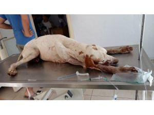 Marmaris'te Köpek Zehirlenmeleri Hayvanseverleri Sokağa Döktü
