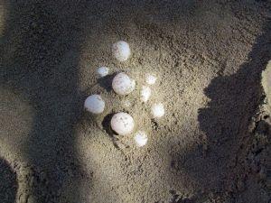 2015 Yılında Türkiye Sahillerinde 391 Bin 152 Yavru Deniz Kaplumbağası Suyla Buluştu