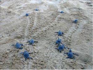 Türkiye'de yumurtadan çıkan 391 bin yavru kaplumbağa denize ulaştı