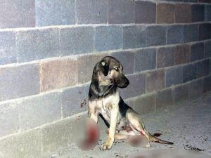 Sokak Köpeklerini Tüfekle Vurdular