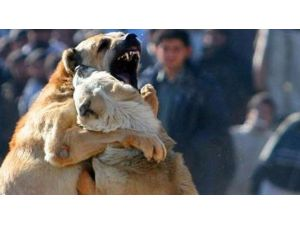 Erzurum'da Bahisle Köpek Dövüştüren 21 Kişi Yakalandı