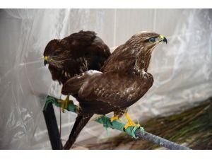 Kuş Cenneti'nde bulunan 5 yaralı şahin tedavi ediliyor