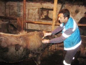 Hisarcık'ta Şap Aşısı Çalışması