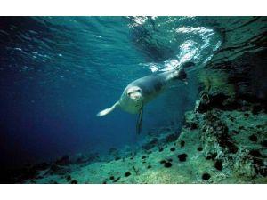 Akdeniz Foklarının Yaşam Alanı Tehlikede