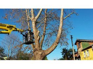 Adapazarı'nda Ağaç Dalları Budanıyor