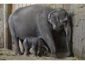 Berlin'de yeni yılda yavru fil sürprizi
