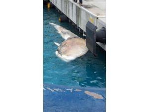 İskenderun Limanı'nda Ölü Yavru Beyaz Balina Bulundu