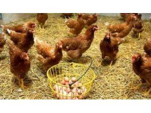 Tavuk Yumurtası Üretimi 1,4 Milyar Adet Olarak Gerçekleşti