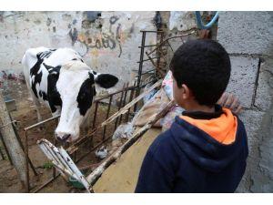 TİKA'dan Gazzeli Yetim Ailelerine Büyükbaş Hayvan Desteği