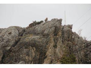 Dağ Keçileri Sincik İlçesine İndi