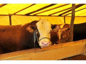 İl Müdürü Kadir Güven: Şap hastalığından telef olan hayvan yok