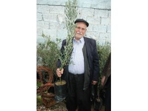 Kahramanmaraş'ta Zeytin Fidanı Fiyatları Arttı