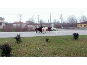 Yılki Atlar Karayolunda Kazalara Davetiye Çıkartıyor