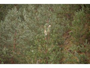 Çam Kese Böceği Ormanları Tehdit Ediyor