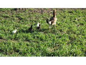 Burhaniye'de Tavuk Kış Ortasında Civciv Çıkardı