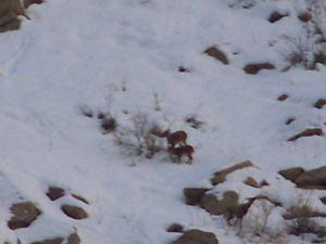Hakkari'de Aç Kalan Dağ Keçileri Köylere İndi