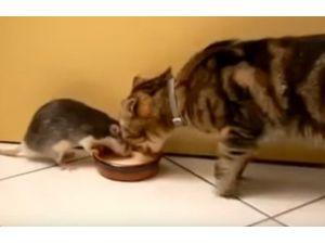 Kedi Ve Farenin Dostluğu Görenleri Şaşırtıyor