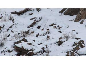 Aç Kalan Dağ Keçileri Kente İndi