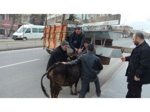 10 kilometre boyunca kaçan inek yorulunca yakalanabildi