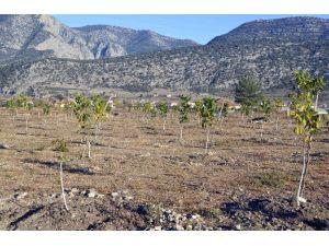Orman Ve Su İşleri Bakanlığı, Antalya'da 2 Bin 730 Ceviz Ağacının Dağıtımını Yaptı