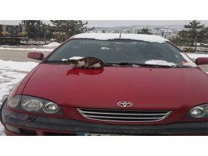 Soğuktan Üşüyen Kedi Araç Kaputunda Isınmaya Çalıştı