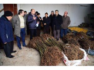 Büyükşehir'den Bafralı Çiftçilere Ceviz Fidanı Desteği