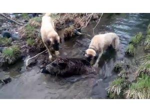 Çoban köpekleri ile domuzun kavgası kamerada